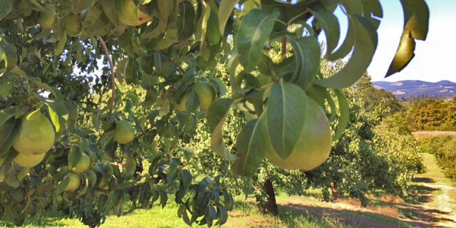 Anjou pears on a tree in a sunny orchard with a dirt road